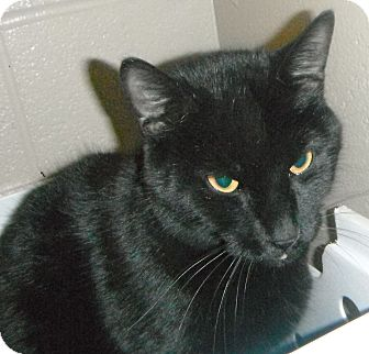 Domestic Shorthair Cat for adoption in Jackson, Michigan - Phineas