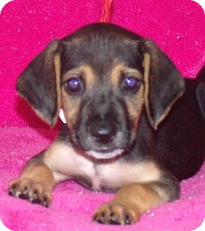 Shepherd (Unknown Type) Mix Puppy for adoption in Phillips, Wisconsin - Celeste