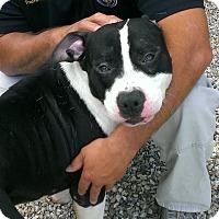 Adopt A Pet :: Domino - Berlin, CT