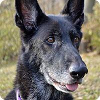 Adopt A Pet :: Bear - Indianapolis, IN