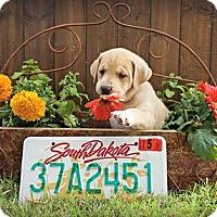 Adopt A Pet :: Dakota - Austin, TX