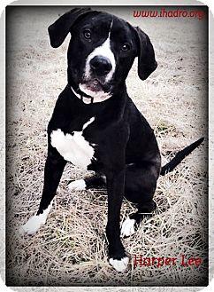 Labrador Retriever/American Staffordshire Terrier Mix Dog for adoption in Blacklick, Ohio - Harper Lee