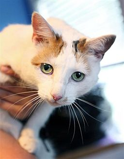 Domestic Shorthair Cat for adoption in Fairfax Station, Virginia - Miss Kitty