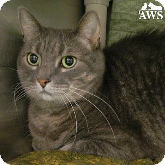 Domestic Shorthair Cat for adoption in West Kennebunk, Maine - Bella