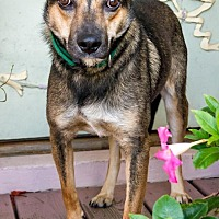 Shepherd (Unknown Type) Mix Dog for adoption in Enfield, Connecticut - Rufus