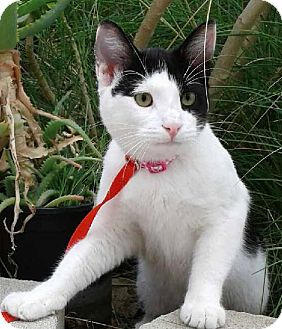 Domestic Shorthair Kitten for adoption in Corona, California - OREO