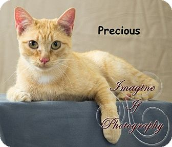Domestic Shorthair Cat for adoption in Oklahoma City, Oklahoma - Precious