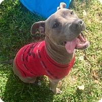 Pit Bull Terrier Mix Dog for adoption in Boca Raton, Florida - BlueBelle