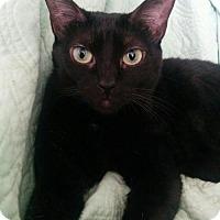 Adopt A Pet :: Velvet - Hurst, TX