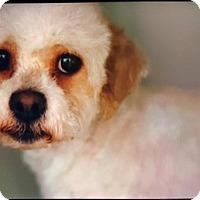 Adopt A Pet :: Chloe - Morganville, NJ