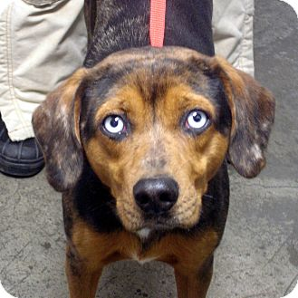 Catahoula Leopard Dog/Labrador Retriever Mix Dog for adoption in Greencastle, North Carolina - Marble