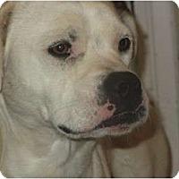 Adopt A Pet :: Indi - Covington, KY