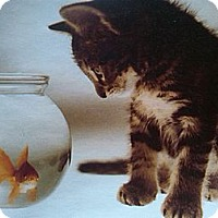 Adopt A Pet :: Gus Gus - Sterling Hgts, MI