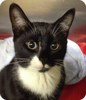Domestic Shorthair Cat for adoption in Wayne, New Jersey - Frankenstein