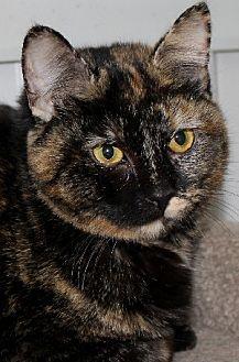 Domestic Shorthair Cat for adoption in Savannah, Missouri - Ginger