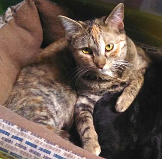 Domestic Shorthair Cat for adoption in Lombard, Illinois - Rosy