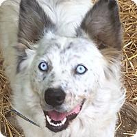 Adopt A Pet :: Cody - Staunton, VA