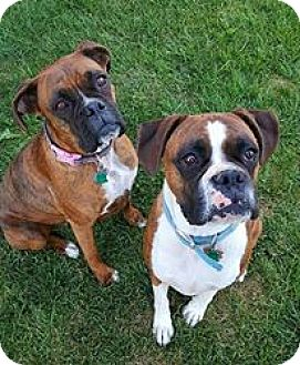 Boxer Dog for adoption in Boise, Idaho - JOSE