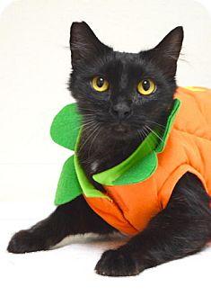 Domestic Longhair Cat for adoption in Dublin, California - Watson