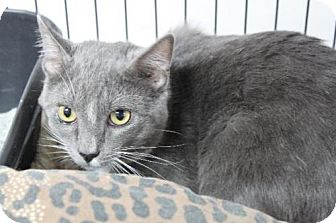 Domestic Shorthair Cat for adoption in Jefferson, Texas - Thomas the III