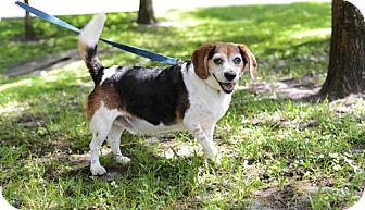 Beagle Dog for adoption in Jupiter, Florida - Bentley