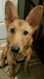 Shepherd (Unknown Type) Mix Puppy for adoption in Pompton Lakes, New Jersey - Tigger
