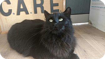 Domestic Mediumhair Cat for adoption in Acushnet, Massachusetts - Chairman Meow