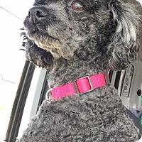 Adopt A Pet :: Suzette - Bridgewater, NJ