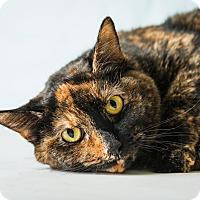 Adopt A Pet :: Chai - Hendersonville, NC