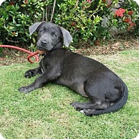 Adopt A Pet :: Kobi - Gloucester, MA