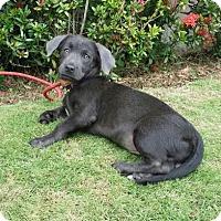 Corgi/Weimaraner Mix Puppy for adoption in Gloucester, Massachusetts - Kobi