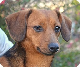 Dachshund/Terrier (Unknown Type, Small) Mix Dog for adoption in Westport, Connecticut - *Gus - PENDING