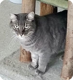 Domestic Shorthair Cat for adoption in Mountain Center, California - Covenant