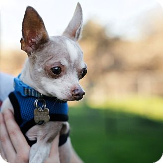 Chihuahua Dog for adoption in St Helena, California - Scooby