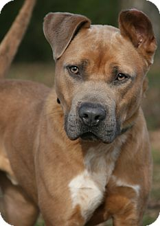 American Bulldog Mix Dog for adoption in Nashville, Tennessee - El Rey