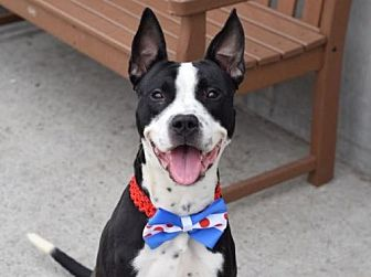 American Pit Bull Terrier Mix Dog for adoption in Manhattan, New York - King
