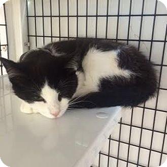 Domestic Shorthair Cat for adoption in Denver, Colorado - Luigi