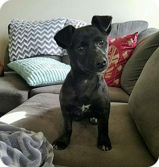 Corgi/Shepherd (Unknown Type) Mix Puppy for adoption in Brandon, South Dakota - Cricket