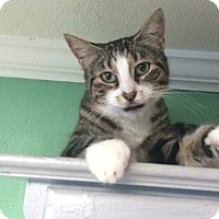 Domestic Shorthair Cat for adoption in Roseburg, Oregon - Ella