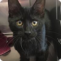 Adopt A Pet :: Midnight - Goshen, NY