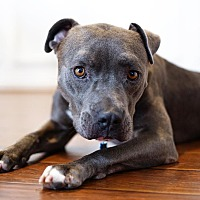 Adopt A Pet :: Tyrion Lannister - Los Angeles, CA