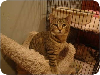 Domestic Shorthair Cat for adoption in Muncie, Indiana - Hector--PETSMART