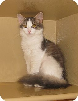 Domestic Longhair Cat for adoption in Farmingdale, New York - Whiskers