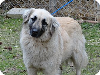 Collie/Shepherd (Unknown Type) Mix Dog for adoption in Humboldt, Tennessee - Pickles