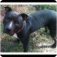 Pit Bull Terrier Dog for adoption in Winchester, California - KATO
