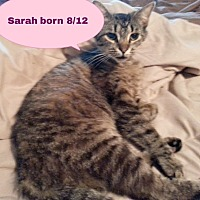 Domestic Shorthair Cat for adoption in Salisbury, North Carolina - Sarah