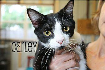 Domestic Shorthair Cat for adoption in Wichita Falls, Texas - Carley