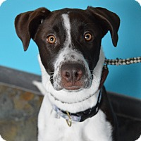 Adopt A Pet :: Scarlett - Chicago, IL