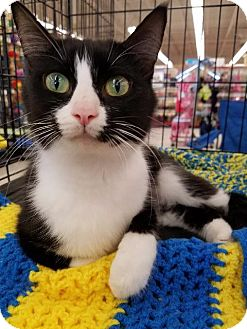 Domestic Shorthair Cat for adoption in Wauconda, Illinois - Cookie