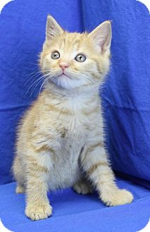 Domestic Shorthair Kitten for adoption in Winston-Salem, North Carolina - Smithers